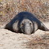 Denise Broadwell Photography - Elephant Seal - Ano Nuevo